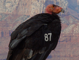 The California Condor is endangered due to habitat loss and hunting. (Photo: elvis santana/sxc.hu)